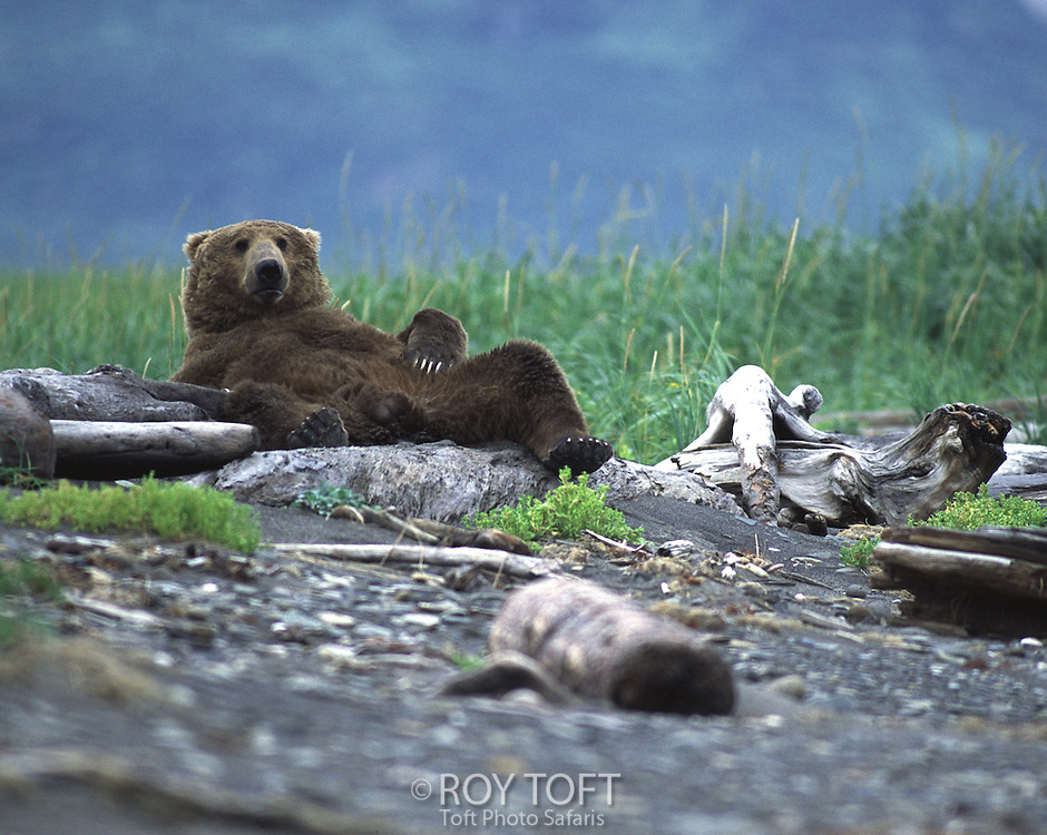 An Alaskan brown bear resting on its back in Katmai National Park and Preserve.