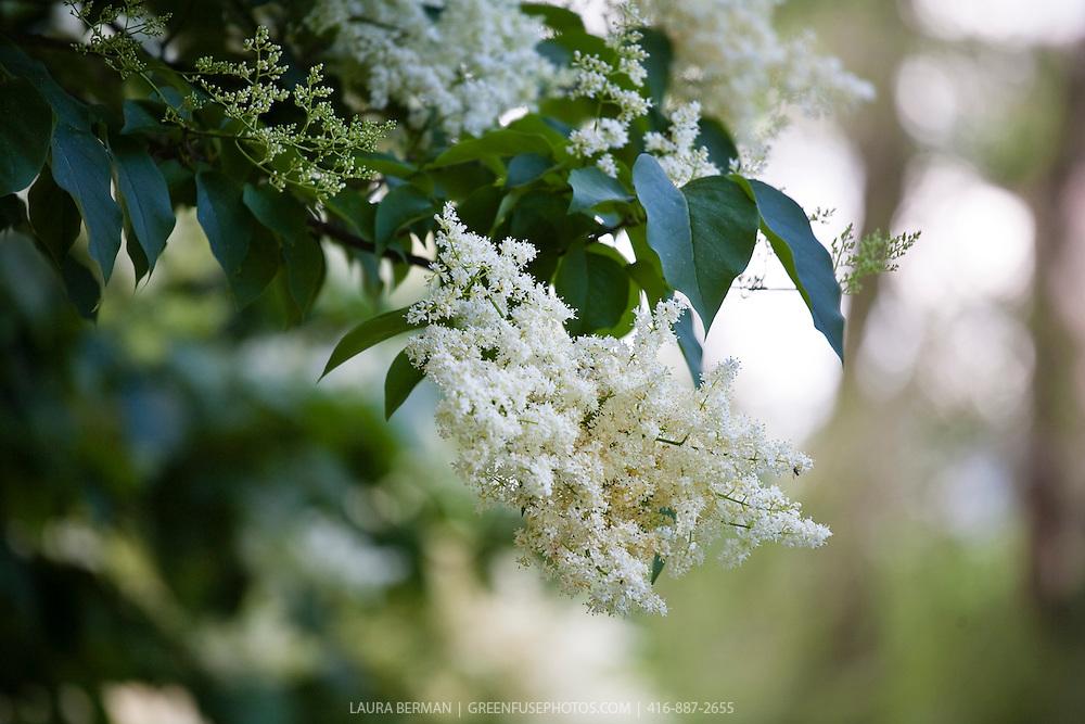 Ivory Silk Japanese tree lilac (Syringa reticulata 'Ivory Silk')