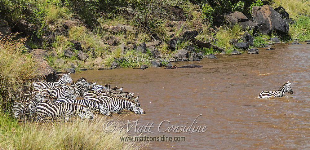 Lead zebra braving the waiting crocodiles as it crosses the Mara River, Kenya, during the annual migration watched by the rest of the herd grouped tightly on the bank, Kenya, Africa (photo by Wildlife Photographer Matt Considine)