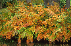 Osmunda regalis in autumn colour. Royal fern