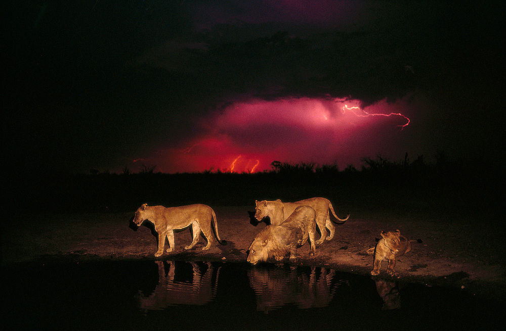 Botswana, Chobe National Park, Pride of Lions (Panthera leo) at water hole with approaching lightning storm in Savuti Marsh
