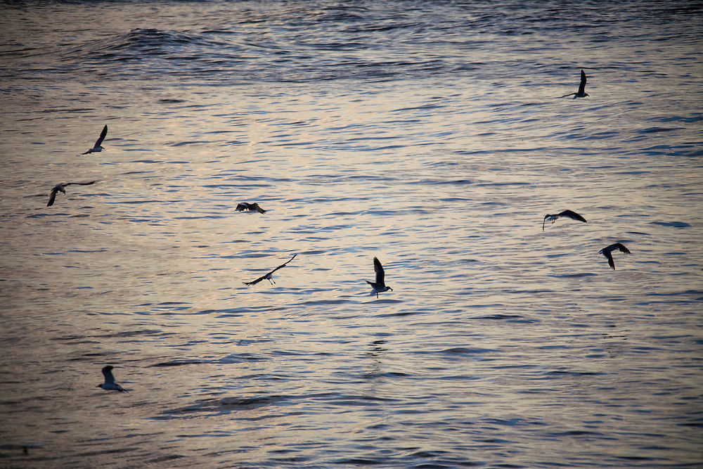 Seagulls look for fish at daybreak on June 24, 2010 where B.P. oil spill has reached land in Grand Isle, LA.