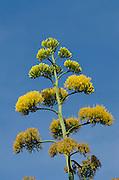 Agave Flower (Agave vivipara)<br /> BONAIRE, Netherlands Antilles, Caribbean