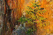 Balsam fir sapling growing in crack on rock<br /> Kenora<br /> Ontario<br /> Canada