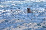 Harbor Seal, Atlantic Ocean, North America