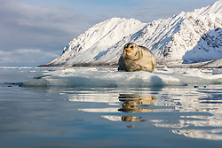 This bearded seal in a fjord in Svalbard was incredibly relaxed.  It helped that we were all wearing black jackets instead of our polar bear costumes.  We drifted by him in the zodiac, and he just didn't care.  I held my camera over the edge of the zodiac as we came close, and fortunately he lifted his head to check us out and make sure we weren't hiding a polar bear before going back to sleep.