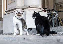 © Licensed to London News Pictures. 17/07/2016. London, UK. Larry the cat, who belongs to the Prime Minister and lives at 10 Downing Street, and Palmerston, the Foreign and Commonwealth Office cat, square off against each other and fight on Downing Street. Photo credit: Rob Pinney/LNP