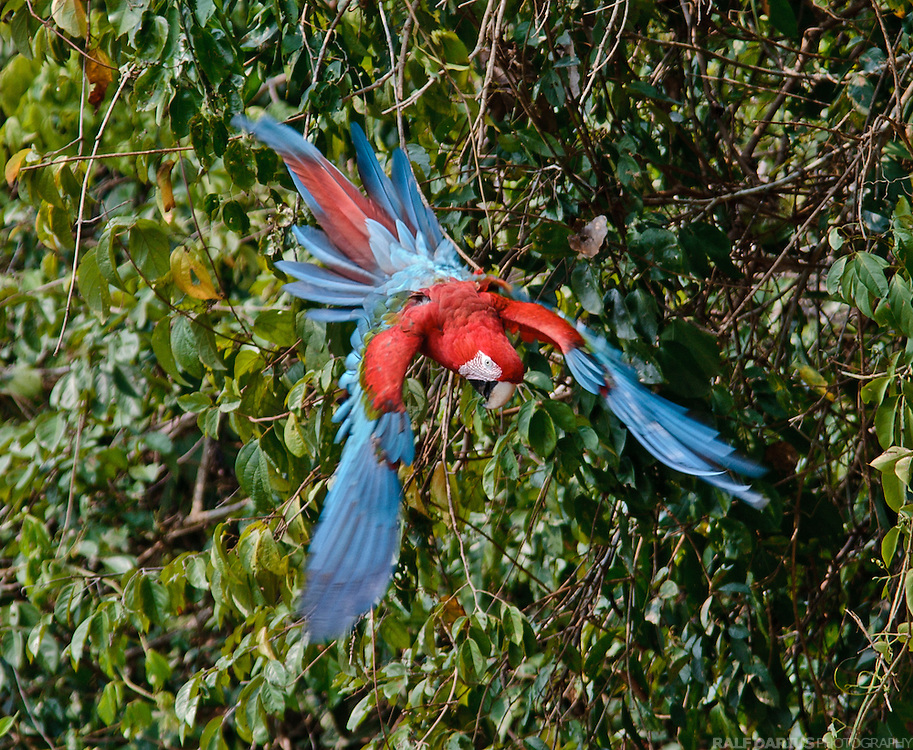 Flying Red-and-Green Macaw (Ara chloropterus) at a clay lick at the Tambopata river, Peru - Fliegender Grünflügelara an einer Lehmlecke am Tambopata Fluß in Peru