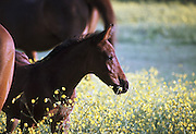 Portrait of a chestnut brown foal standing with ears pricked in a field of yellow buttercup flowers, UK