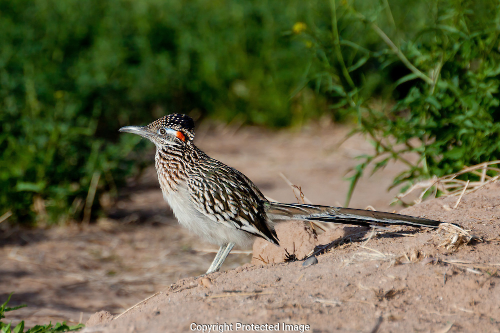 Roadrunner standing very still, scanning the alfalfa field for a meal.