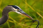 Great Blue Heron captures a garter snake