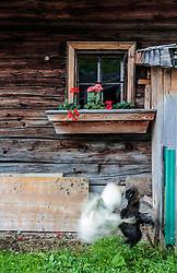 THEMENBILD - zwei Hühner kämpfen vor der Alm, Langzeitbelichtung. Die bewirtschaftete Alm, wo rund 800 Schafe und 55 Milchkühe im Sommer sind, besteht seit dem Jahre 1779 und wird von der Familie Aberger Dick geführt, Sie liegt unmittelbar bei den Kapruner Hochgebirgsstauseen, aufgenommen am 16. Juni 2017, Fürthermoar Alm, Kaprun, Österreich // Two chickens fighting in front of the pasture, long exposure. The Fuerthermoar Alm, where around 800 sheep and 55 dairy cows are in summer and is directly next to the Kaprun Hochgebirgsausauseen. The Mountain Hut exists since 1779 and is owned by the family Aberger Dick, taken on 2017/06/16, Kaprun, Austria. EXPA Pictures © 2017, PhotoCredit: EXPA/ JFK