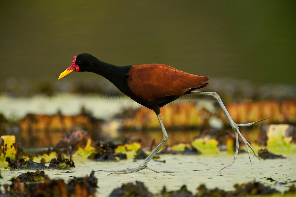 Wattled Jacana (Jacana jacana )<br /> Savannah<br /> Rupununi<br /> GUYANA. South America<br /> RANGE: Panama and Trinidad south through most of South America east of the Andes.