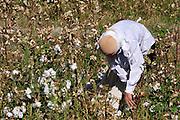 Uzbekistan, Samarqand Province. Cotton harvest.