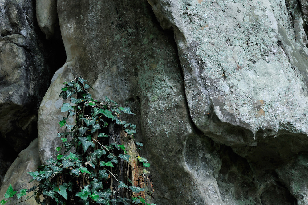 Sandstone and Common Ivy (Hedera helix) , Mullerthal trail, Mullerthal, Luxembourg