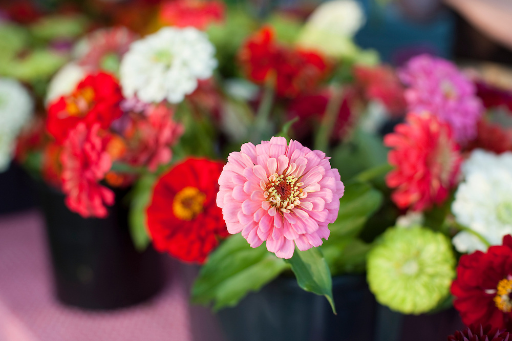 zinnia flowers at farmers market