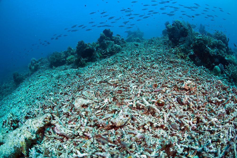 Coral Reef in Komodo National Park, Indonesia, destroyed by dynamite or blast fishing, a practice in which fishermen use fertilizer-based explosives to kill and demolish everything in the water - from fish to the entire coral reef habitat.