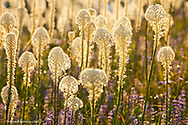 Beargrass and lupine backlit on the slopes at Whitefish Mountain Resort in Whitefish, Montana
