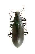 False Mealworm Beetle (Alobates pensylvanica)<br /> United States: Alabama: Tuscaloosa Co.<br /> Tulip Tree Springs off Echola Rd.; Elrod<br /> 3-Jul-2017<br /> J.C. Abbott #2965