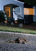 A brown rat (Rattus norvegicus) on a street curb at night in a residential neigborhood. Portland, Oregon. These rats are not native, but are european in origin and have followed human settlements around the world.