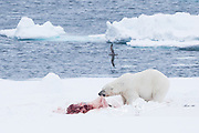 A male polar bear feeds on the carcass of a Bearded seal, while an Ivory gull waits nearby.