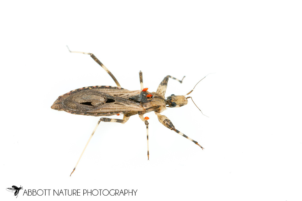 Assassin Bug (Diaditus tejanus)<br /> United States: Alabama: Tuscaloosa Co.<br /> Tulip Tree Springs off Echola Rd.; Elrod<br /> 28-Jun-2016<br /> J.C. Abbott #2840 &amp; K.K. Abbott
