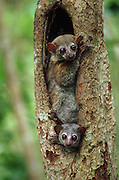 Milne-Edward's Sportive Lemurs in Nest Hole<br /> Lepilemur Edwardsi<br /> Ampijorao Reserve, Western MADAGASCAR<br /> ENDEMIC