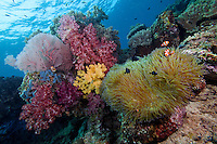 Soft Corals and Anemonefishes.Shot in West Papua Province, Indonesia