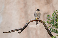 Peregrine falcon, adult female perched on a low tree branch with a cliff in the background. She is perched low to watch over one of her young that fledged early, not yet able to fly, perched near the base of the cliff. © 2015 David A. Ponton [Prints to 8x12, 16x24, 24x36 or 40x60 in. with no cropping]