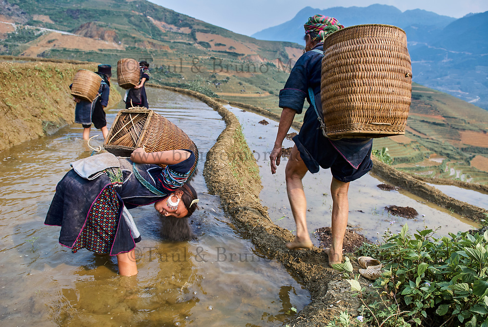 Vietnam. haut Tonkin. Region de Sapa. Jeune fille d'ethie Hmong Noir travaillant dans les rizières. // Vietnam. North Vietnam. Sapa area. Young girl from Black Hmong ethnic group working on the rice fields.