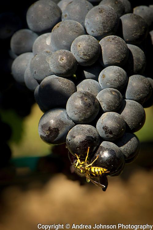 Ebony Wines, Olenik Vineyard, Newberg, Oregon