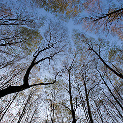 Dawn in a deciduous forest in East Granby, Connecticut.  Peak Mountain.  Metacomet Trail.  New England National Scenic Trail.  Spring.