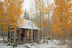 """Shack in the Aspens 4"" - Photograph of yellow leaved aspens and an old shack near the summit of Hwy 267 in Tahoe. Shot in the fall while it was snowing."