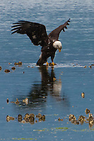 An immature Bald Eagle (Haliaeetus leucocephalus) (Halietus leucocephalus) lands on an oyster bed along Hood Canal in Puget Sound, Washington state, USA