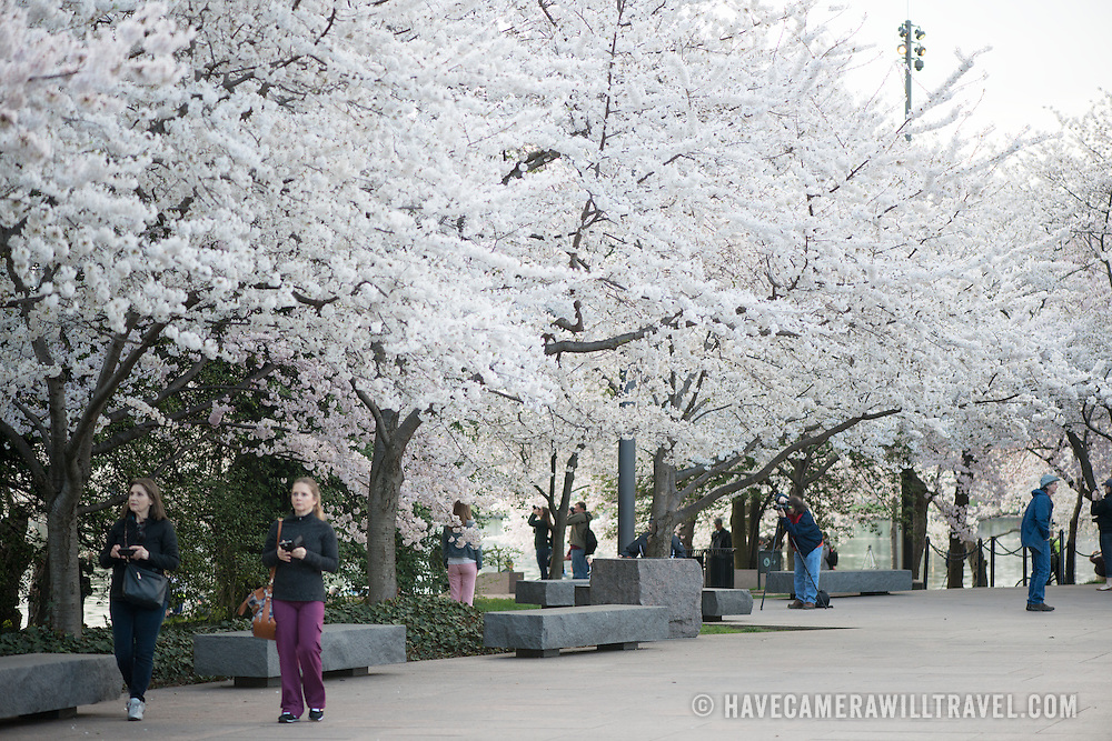 Washington DC's cherry blossoms in full bloom around the Tidal Basin. Some of the oldest trees are now over a century old. This is taken in the FDR Memorial.