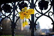 Floral tributes for the victims of the Westminster terror attack on 22nd March 2017 <br /> daffodils attached to the railings outside Parliament <br /> <br /> Westminster, London, Great Britain <br /> 27th March 2017 <br /> <br /> Photograph by Elliott Franks <br /> Image licensed to Elliott Franks Photography Services