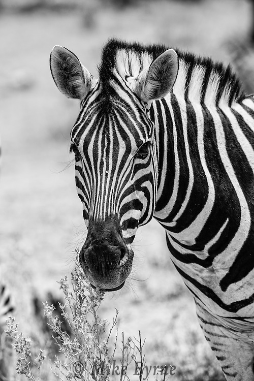 Burchell's Zebra in Etosha National Park.