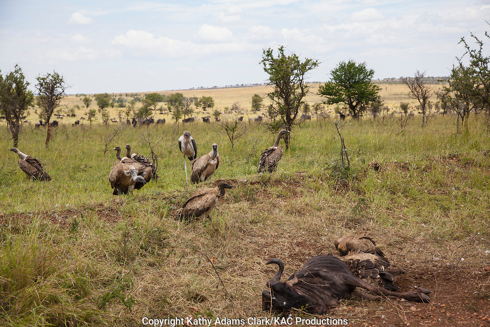 White-backed vulture, Gyps africanus, feeding on a dead wildebeest, in Serengeti, Tanzania, Africa.