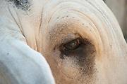 Eye Close-up of a Brahman cattle (Bos primigenius indicus), David City, Chiriqui province, Panama, Central America