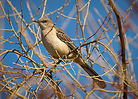 Northern Mockingbird in the Vines. Backyard Winter Nature in New Jersey. Image taken with a Nikon D2xs camera and 70-200 mm VR lens (ISO 200, 200 mm, f/2.8, 1/3000 sec)