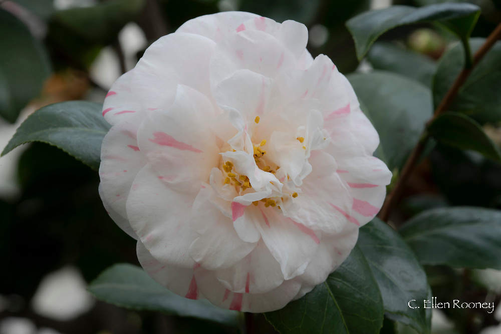 Camellia japonica 'Pompone', a white camellia with  pink stripes and yellow centre in the conservatory at Chiswick House, Chiswick, London, UK