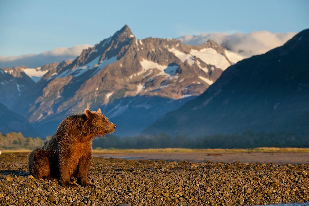 USA, Alaska, Katmai National Park, Grizzly Bear (Ursus arctos) resting along tidal flats beneath coastal mountains along Kukak Bay at dawn
