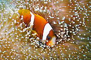 Barrier Reef Anemonefish (Amphiprion akindynos) in Mertens Carpet Sea Anemone (Stichodactyla mertensii) - Agincourt Reef, Great Barrier Reef, Queensland, Australia.