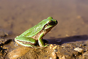European tree frog (Hyla arborea) near water Photographed in Israel in December
