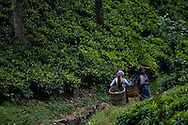 Tea pluckers harvest tea leaves at the Hollyroad Estates tea plantation near the town of Hatton in hill country in central Sri Lanka December 14, 2009.  Pluckers have a target of picking 16 kilograms of the leaves bu on average pick between 25-28 kilograms which will earn them about $5 per day.