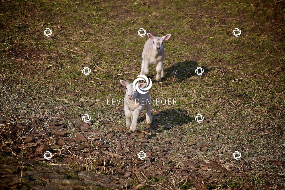 BOMMELERWAARD - De Lente is officieel van start gegaan. Overal zie je mensen genieten van het heerlijke voorjaarsweer.  Met op de foto twee jonge lammetjes die heerlijk aan het spelen zijn. FOTO LEVIN DEN BOER - PERSFOTO.NU