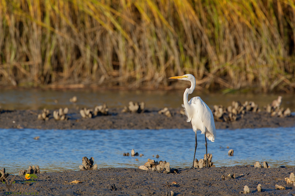 Great Egret Standing in Marsh with Oysters