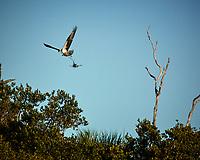 Osprey building a nest at Fort DeSoto park in St. Petersburg, Florida. Image taken with a Nikon N1V2 camera and 180 mm f/2.8 lens (ISO 160, 180 mm, f/5.6, 1/2000 sec).