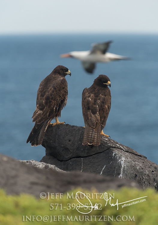 2 Galapagos hawks perch near a cliff while a Nazca booby flies past on Española island in the Galapagos.