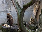 Cesky Krumlov, Krumau/Tschechische Republik, Tschechien, CZE, 26.07.2008:  Der Bärengraben am Schloss Cesky Krumlov. Die Geschichte der Bärenhaltung im Schloß Cesky Krumlov reicht bis ins 16. Jahrhundert, bis zur Zeit der Herrschaft der letzten Rosenberger. Im Bärengraben werden die Bären seit 1707 gehalten. Im Jahre 1995 entstand eine Studie der Bärenzwingerrekonstruktion im Schloss Cesky Krumlov, auf deren Grund in den Jahren 1995-1999 das Projekt der Rekonstruktion des Bärengrabens realisiert wurde , das auf die Kultivierung beider Bärengehege orientiert war.<br /> <br /> Cesky Krumlov/Czech Republic, CZE, 26.07.2008: Bear moat at Cesky Krumlov castle. The history of bear-keeping at ?eský Krumlov Castle goes back to the 16th century, the era of the last Rosenbergs. Bears have been kept in the bear moat since 1707. In year 1995 renewal study for the Ursinarium in Cesky Krumlov Castle has been drawn up, based on which reconstruction of the bear ditch in term 1995-1999 was realized. This reconstruction was supposed to cultivate both bear moats.